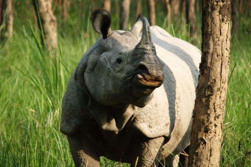 rhinos-in-chitwan